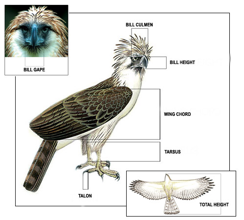 Philippine Eagle Illustration